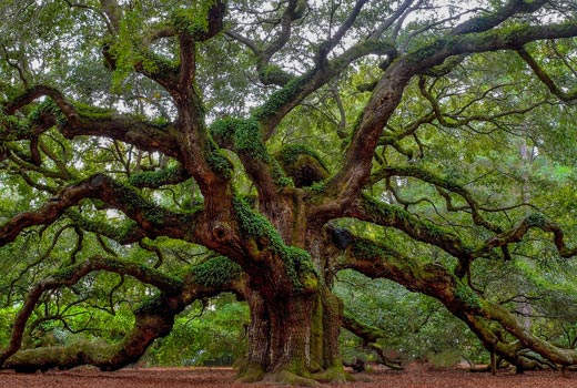 south carolina oak tree